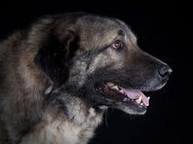 Retrato caucasiano do cão pastor Fotografia de Stock Royalty Free