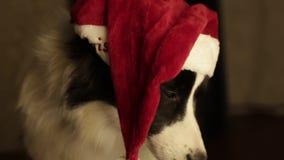 Retrato cercano del border collie lindo hermoso del perro en el sombrero de Papá Noel por Año Nuevo y la Navidad chimenea y luces almacen de video