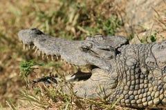 Retrato cercano del cocodrilo del Nilo, del niloticus del Crocodylus, de la boca y de dientes imagenes de archivo