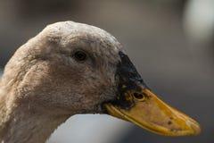 Retrato cercano del pato imagenes de archivo