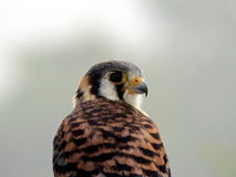 Retrato: Cernícalo americano (el halcón más pequeño) imagenes de archivo