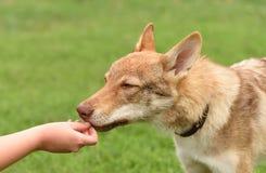 Retrato checo del lobo Imagen de archivo libre de regalías