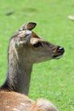 Retrato: Ciervos Imagen de archivo libre de regalías