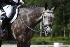 Retrato cinzento do cavalo do esporte Fotografia de Stock Royalty Free