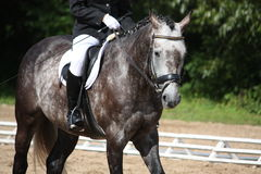 Retrato cinzento do cavalo do esporte Fotografia de Stock