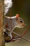 Retrato cinzento do esquilo Fotos de Stock Royalty Free