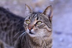 Retrato cinzento do gato Foto de Stock