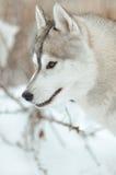 Retrato cinzento e branco do cão do cão de puxar trenós Siberian do inverno Fotografia de Stock Royalty Free