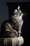 Retrato cinzento e preto do gato de racum de Maine Fotografia de Stock Royalty Free