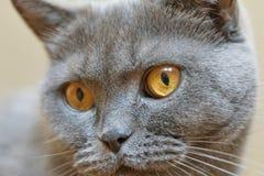 Retrato cinzento escocês do gato Fotografia de Stock