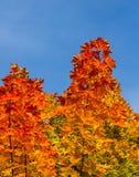 Retrato colorido das folhas de bordo Imagens de Stock Royalty Free