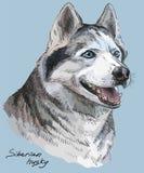 Retrato colorido do vetor do desenho da mão do cão de puxar trenós siberian Imagens de Stock
