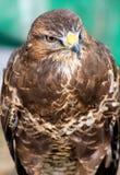 Retrato común del halcón imagen de archivo libre de regalías