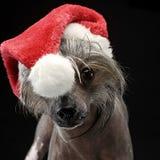 Retrato com crista chinês do cão em um chapéu de Santa Claus Foto de Stock