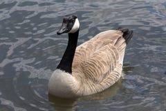 Retrato completo do corpo do ganso de Canadá na água Imagens de Stock Royalty Free