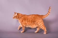 Retrato completo do perfil do corpo do gato de casa doméstico alaranjado do cabelo curto imagem de stock