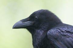 Retrato comum do corvo Imagem de Stock
