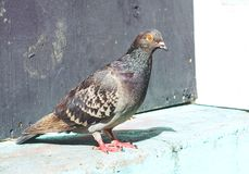 Retrato comum do pombo fotos de stock royalty free
