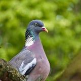 Retrato comum do pombo torcaz fotografia de stock royalty free