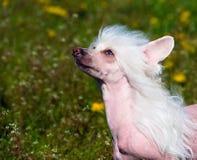 Retrato con cresta chino del perro foto de archivo
