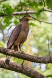 Retrato con cresta del águila de la serpiente Imagen de archivo libre de regalías