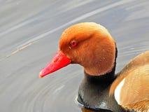 Retrato con cresta rojo del pato de mar foto de archivo