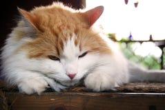 Retrato confuso del gato Fotografía de archivo