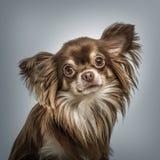 Retrato continental de Toy Spaniel contra fondo gris imagen de archivo libre de regalías
