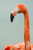 Retrato cor-de-rosa do flamingo Foto de Stock Royalty Free