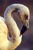 Retrato cor-de-rosa do flamingo Fotografia de Stock