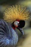 Retrato coroado cinzento do guindaste Imagens de Stock Royalty Free