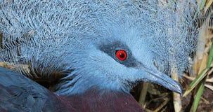 Retrato coronado meridional del primer de la paloma almacen de video