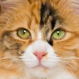 Retrato cuadrado del primer del gato de calicó foto de archivo libre de regalías