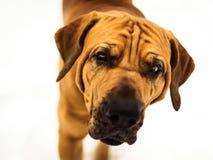 Retrato curioso do close-up de Fila Brasileiro Brazilian Mastiff foto de stock royalty free