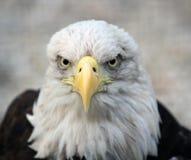 Retrato da águia calva Fotos de Stock Royalty Free