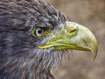 Retrato da águia de mar Imagem de Stock