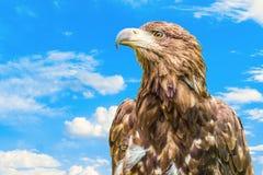 Retrato da águia do estepe fotografia de stock royalty free