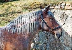Retrato da égua da raça de Brabante Fotografia de Stock Royalty Free