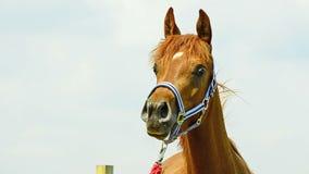 Retrato da égua de Asil Arabian filme