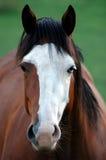 Retrato da égua de YinYang Imagens de Stock