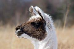 Retrato da alpaca Imagem de Stock Royalty Free