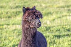 Retrato da alpaca Fotografia de Stock