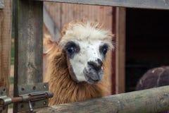 Retrato da alpaca Fotografia de Stock Royalty Free