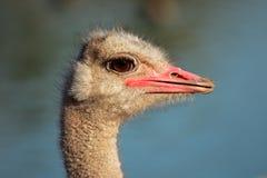 Retrato da avestruz Fotografia de Stock