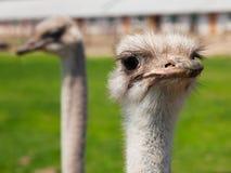 Retrato da avestruz Foto de Stock