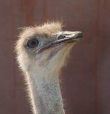 Retrato da avestruz Fotos de Stock Royalty Free