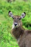 Retrato da beleza de Waterbuck, Tanzânia Imagens de Stock