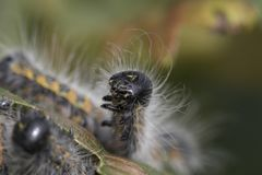 retrato da cabeça da lagarta da Lustre-ponta Imagem de Stock