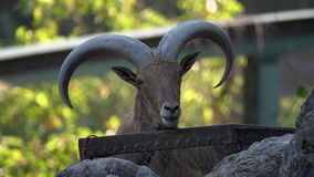 Retrato da cabra de montanha vídeos de arquivo