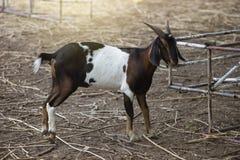 Retrato da cabra em um campo à terra com o efeito da luz adicionado, foco seletivo, imagem filtrada fotografia de stock